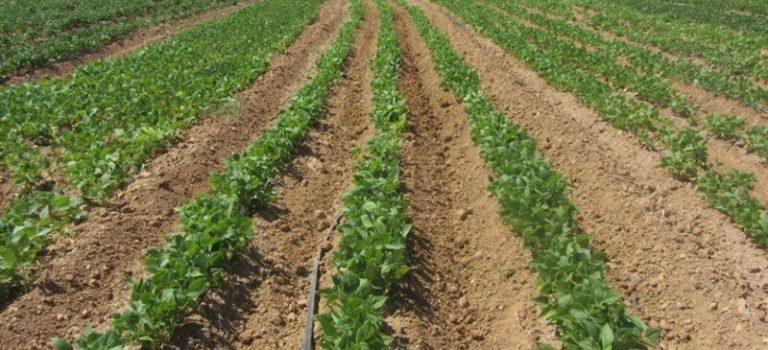الزام راه اندازی صنایع تبدیلی مرتبط با لوبیا در اقلید