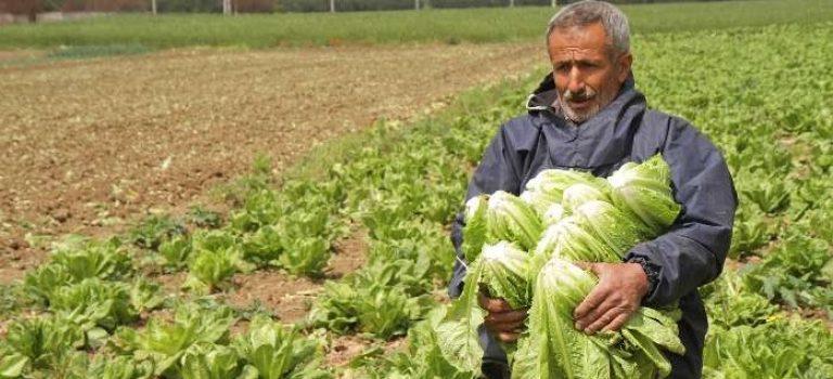 آغاز کاشت کاهو در قطب تولید جنوب فارس