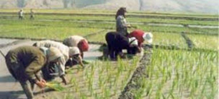 کاشت برنج با شرایطی مجاز است
